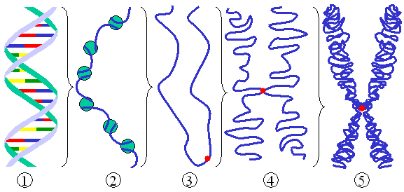 Figure 2: Different levels of DNA condensation. (1) Single DNA strand. (2) Chromatin strand (DNA with histones). (3) Condensed chromatin during  with centromere.  (4) Condensed chromatin during . (Two copies of the DNA molecule are now present) (5) Chromosome during .
