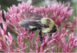 Bumblebee pollinator on