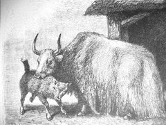 A drawing of a yak